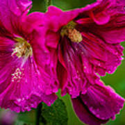Hollyhocks By The Road Poster