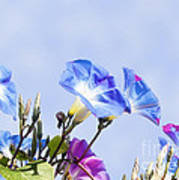 Morning Glory Flowers Poster