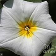 Morning Glory Named White Ensign Poster