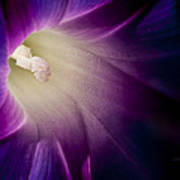 Morning Glory Purple Poster by Roger Snyder
