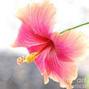 Morning Hibiscus In Gentle Light - Square Macro Poster
