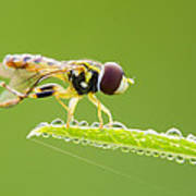 Morning Hoverfly Poster