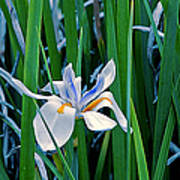 Morning Smile - Wild African Iris Poster