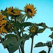 Morning Sunflowers Poster