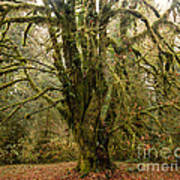 Moss-covered Bigleaf Maple  Poster