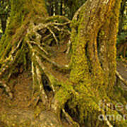 Moss-covered Tree Trunks  Poster
