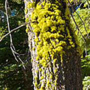 Moss On Tree Along Sentinel Dome Trail In Yosemite Np-ca Poster
