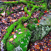 Moss Roots Rock And Fallen Leaves Poster