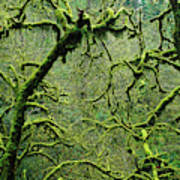 Mossy Trees Leafless In The Winter Poster
