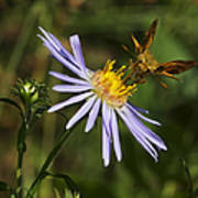 Moth Feeding On Aster Dragon Poster