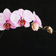 Moth Orchid Poster