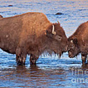 Mother And Calf Bison In The Lamar River In Yellowstone National Park Poster