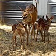 Mother And Two Fawn  Poster