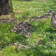 Mother Duck With Nest Poster