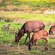 Mother Elk With Her Young Poster