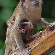 Mother Monkey And Her Baby Poster