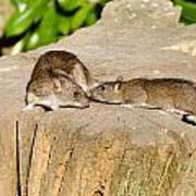Mother Rat With Youngster Poster