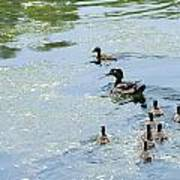 Mother Wood Duck Poster