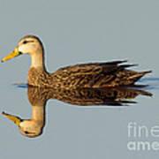 Mottled Duck Poster
