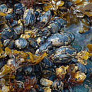 Mound Of Mussels Poster by Sarah Crites