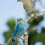 Mountain Bluebird Pair Poster