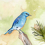 Mountain Bluebird Poster