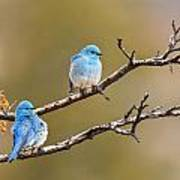 Mountain Bluebirds Poster
