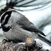 Mountain Chickadee During A Light Snow Poster