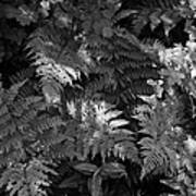 Mountain Ferns 1 Poster by Roger Snyder