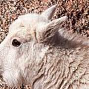 Mountain Goat Kid Portrait On Mount Evans Poster