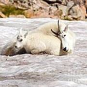 Mountain Goat Mother And Baby Poster