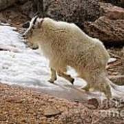 Mountain Goat On Snowfield On Mount Evans Poster