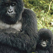Mountain Gorilla Mother And Baby Poster