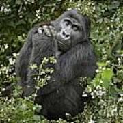 Mountain Gorilla Praying Poster