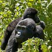 Mountain Gorilla With Infant  Poster