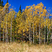 Mountain Grasses Autumn Aspens In Deep Blue Sky Poster