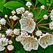 Mountain Laurel-maine Poster