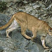 Mountain Lion Crossing Rocky Terrain Poster