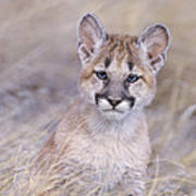 Mountain Lion Cub In Dry Grass Poster