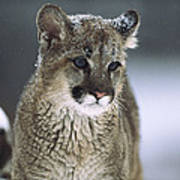 Mountain Lion Cub In Snow Montana Poster
