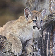 Mountain Lion Cub On Tree Branch Poster