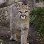 Mountain Lion Cub Walking Poster