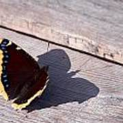 Mourning Cloak Poster