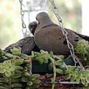Mourning Dove Feeding Baby Dove Poster