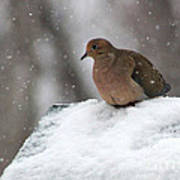 Mourning Dove In Snow Poster