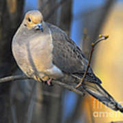 Mourning Dove On Limb Poster