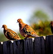 Mourning Doves On Fence Poster