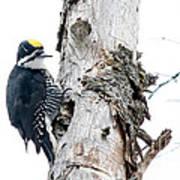 Mr. Black-bscked Woodpecker Poster