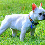Ms. Quiggly - French Bulldog Poster
