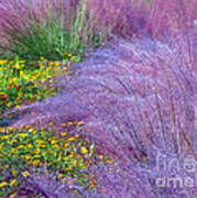 Muhly Grass In The Morning Poster